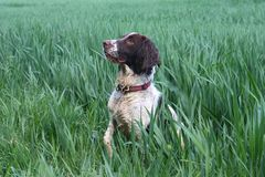 A Working type english springer spaniel pet gundog in a field of green crops Stock Photos