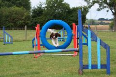 A working type english springer spaniel pet gundog jumping an agility jump Royalty Free Stock Photos