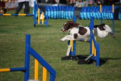 A working type english springer spaniel pet gundog jumping an agility jump Royalty Free Stock Images