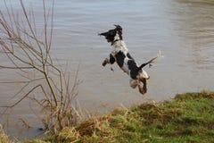 A working type english springer spaniel pet gundog jumping into water Stock Photography