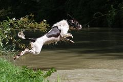 A working type english springer spaniel pet gundog jumping into water Stock Images