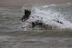A working type english springer spaniel pet gundog jumping into water Stock Photos
