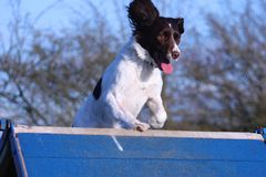 A working type english springer spaniel pet gundog running over an agility a-frame Stock Image