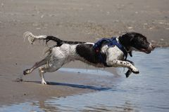 A Working type english springer spaniel pet gundog running on a sandy beach Royalty Free Stock Photography