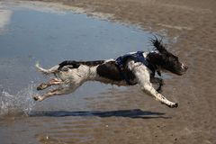 A Working type english springer spaniel pet gundog running on a sandy beach; Stock Photos