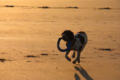 A Working type english springer spaniel pet gundog running on a sandy beach; Stock Photo