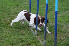 A working type english springer spaniel pet gundog weaving through agility weave poles Royalty Free Stock Photography