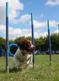 A working type english springer spaniel pet gundog weaving through agility weave poles Royalty Free Stock Image