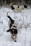 Working type english springer spaniel pet gundogs playing in the snow Royalty Free Stock Photos
