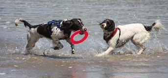Working type english springer spaniel pet gundogs running on a sandy beach; Stock Images