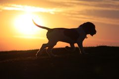 A working type english springer spaniel puppy Stock Image