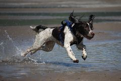 Working type english springer spaniel running on a. A working type english springer spaniel dog flying over water on a beach royalty free stock photos