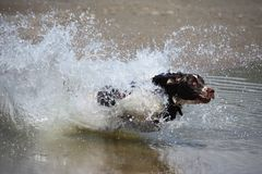 Working type english springer spaniel running on a. A working type english springer spaniel dog flying over water on a beach stock photos