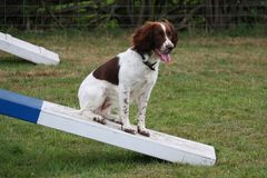 Working type english springer spaniel sat on an agility contact Stock Photos