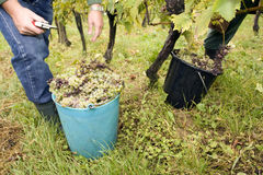 Working in vineyard. Every year autum work in vineyards in slovenija Royalty Free Stock Images