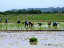 Working women in Thailand. Group of women working in a rice plantation in Thailand stock photography