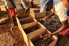 Workman sorting dry fish. Workman sorting dry fish in to boxes. Known locally as karawala it is made by sun drying small fish Royalty Free Stock Images