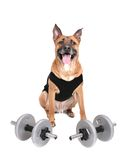 Workout dog. One young workout dog with weights over white royalty free stock photos