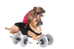 Workout dogs. A strong workout dog in outfit with his girlfriend in pink over white stock images