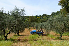 Works in the olive grove Stock Photos