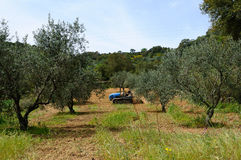 Works in the olive grove Royalty Free Stock Images