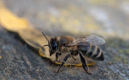 Workwoman bee Royalty Free Stock Image