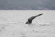 Humpback whale and a puffin 4. The world's largest population of humpback whales return each year to Newfoundland and Labrador waters to feed on capelin stock images