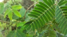 World& x27; beste Schamhafte Sinnpflanze-Blätter s stockfoto
