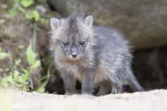 The world is so big. Fresh litter grey fox kit coming out of den to experience the world Royalty Free Stock Photography