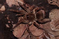 Free World Biggest Spider Species Stock Photography - 142886462