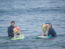 World Dog Surfing Championships royalty free stock photography