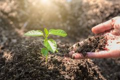 The World Environment Day,  The hand of the child planted a small tree Green color that grows on fertile soil. Forest conservation. Concept stock images