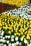 World famous Tulip Festival in Emirgan Park, Istanbul, Turkey. Flowering of tulips. World famous Tulip Festival in Emirgan Park, Istanbul, Turkey. Flowering of stock photo
