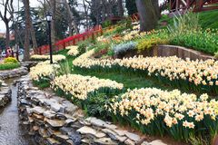 World famous Tulip Festival in Emirgan Park, Istanbul, Turkey. Flowering of tulips. World famous Tulip Festival in Emirgan Park, Istanbul, Turkey. Flowering of stock image