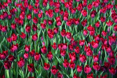 World famous Tulip Festival in Emirgan Park, Istanbul, Turkey. Flowering of tulips. World famous Tulip Festival in Emirgan Park, Istanbul, Turkey. Flowering of royalty free stock photo