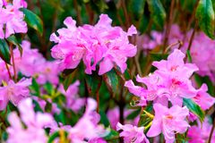 Rhododendron simsii Planch stock images