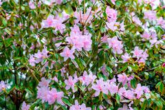 Rhododendron simsii Planch royalty free stock images