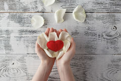 World Heart Care Day Background. White Rose petal in human hands Royalty Free Stock Photos