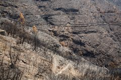 World heritage forests of Madeira terribly destroyed by fires in 2016. Some of trees have enormous will of life and survived this disaster Stock Image