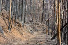 World heritage forests of Madeira terribly destroyed by fires in 2016. Some of trees have enormous will of life and survived this disaster Stock Photos