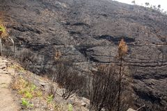 World heritage forests of Madeira terribly destroyed by fires in 2016. Some of trees have enormous will of life and survived this disaster Royalty Free Stock Photography