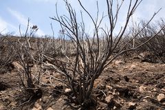 World heritage forests of Madeira terribly destroyed by fires in 2016. Some of trees have enormous will of life and survived this disaster Royalty Free Stock Photos