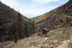 World heritage forests of Madeira terribly destroyed by fires in 2016. Some of trees have enormous will of life and survived this disaster Stock Images