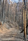 World heritage forests of Madeira terribly destroyed by fires in 2016. Some of trees have enormous will of life and survived this disaster Stock Photography
