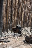 World heritage forests of Madeira terribly destroyed by fires in 2016. Some of trees have enormous will of life and survived this disaster Royalty Free Stock Image