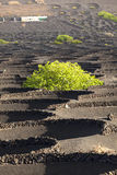 World Heritage Site La Geria in Lanzarote Royalty Free Stock Photo
