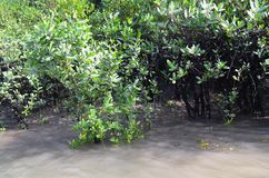 World Largest Mangrove forest in Bangladesh nearby a beautiful river. Use it your personal and business. Where you get a real surrendered sundarbone picture Royalty Free Stock Image