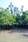 World Largest Mangrove forest in Bangladesh nearby a beautiful river. Use it your personal and business. Where you get a real surrendered sundarbone picture Stock Images
