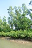 World Largest Mangrove forest in Bangladesh nearby a beautiful river. Stock Photo