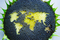 World map made from whole sunflower Royalty Free Stock Photo